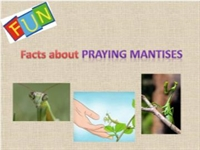 Fun Facts about Praying Mantises